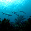 A small school of tarpon (Megalops atlanticus) at Cai, Bonaire.