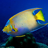 A queen angelfish (Holocanthus ciliaris) at Invisibles, Bonaire