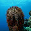 Crown of thorns seastar (Acanthaster planci) in the Achang Reef Flat Marine Preserve, Guam