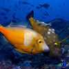 a pair of whitespotted filefish (Cantherhines macrocerus) at Stetson Bank, in the Flower Garden Banks National Marine Sanctuary.